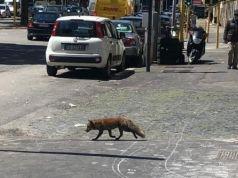 Fox spotted on Via Gregorio VII in Rome