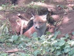 Fox cub on Rome's Nuovo Salario