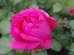 Rome's most beautiful rose