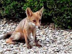 Fox cubs in Villa Pamphilj