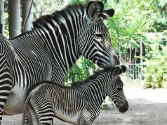 Rome zoo welcomes baby zebra