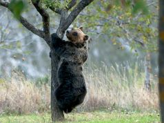 Italy's Marsican brown bears face extinction