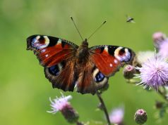 Guide to the butterflies of Rome