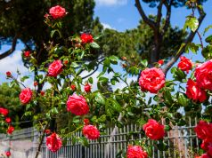 Rome reopens rose garden