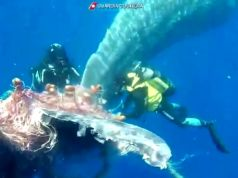 Sperm whale trapped in fishing net off the Aeolian Islands gets rescued by divers