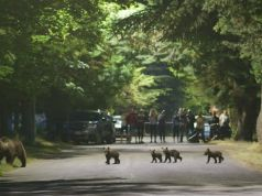 Italy: Mamma bear and four cubs eat cherries in Abruzzo village