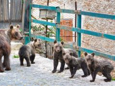 Italy: Family of bears visit Abruzzo village