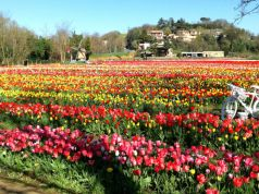Rome reopens pick-your-own tulip park