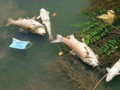 Why is Rome's river Tiber full of dead fish?