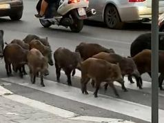 Cinghiali: Wild boar invade Rome streets