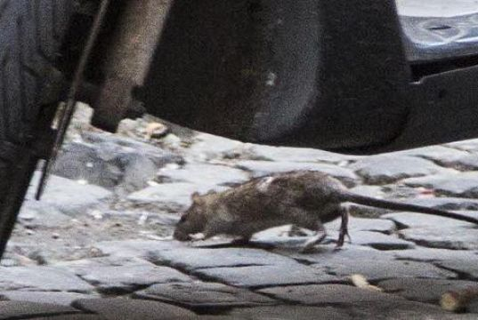 Rat emergency in Rome