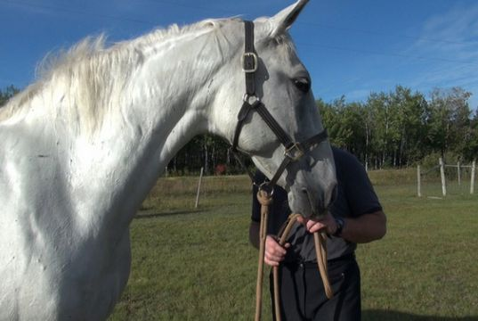 Andalusian gelding not for sale. Needing a new family capable of taking care to take him