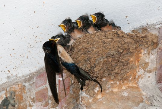 Rome's mosquitoes to be controlled by swallows