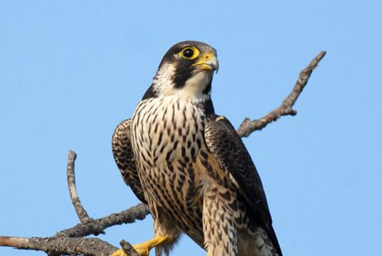 Peregrine Falcons return to Rome's skies