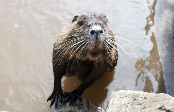 Nutria: Rome's giant river rodent