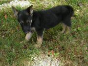 Cute German Shepherd dogs ready for sale.