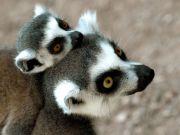 Lemurs' Days for Kids
