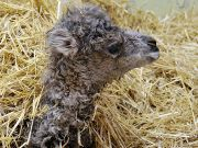 Amelia the baby camel