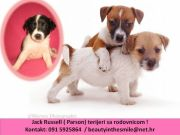Jack RUSSELL TERRIER (parson) with pedigree