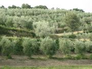 Beautiful olive grove on sale in Chianciano Terme (Siena)