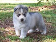 Male and Female Blue Eyed Siberian Husky Puppies Available F