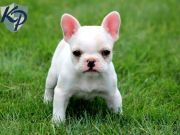 French bulldog puppies for free adoption