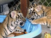 Well trained male and a female White Tiger cubs