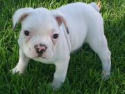 Cute and Adorable French bulldog Puppies for Adoption