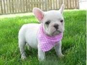 French bulldog puppiues for free adoption