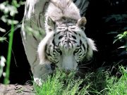 Rome's Bioparco welcomes Bengal Tiger