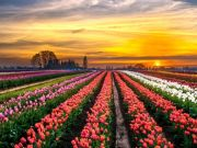 Tulipark becomes Rome's first tulip farm