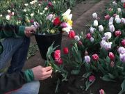Rome's tulip park devastated within 48 hours