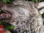 Disabled wolf cub killed in Rome