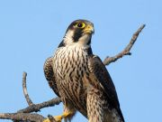 Peregrine Falcons return to Rome's skies