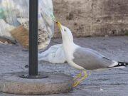 Rome to launch anti-seagull bins