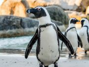 Environmentalists protest arrival of endangered penguins at Rome's Bioparco