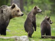 Hope for Italy's brown bear with birth of 11 cubs