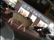 Bull on the loose in Rome suburb