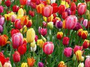 Rome's pick-your-own tulip park returns