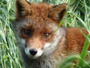 Olimpia the Fox: mascot of Rome's biggest park