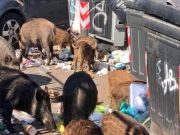 Wild boar cause havoc in Rome suburbs