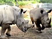Rome's Bioparco welcomes two white rhinos