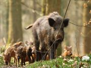 Rome to cull wild boar