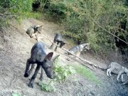Wolf-dog hybrid cubs in Rome nature reserve
