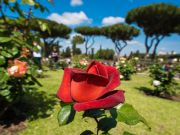 Rome cancels contest for most beautiful rose