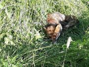 Fox cub found gravely injured in Rome park