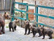 Italy: Family of bears visit Abruzzo village