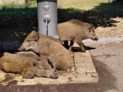 Heatwave: Wild boar cool off under Rome fountain
