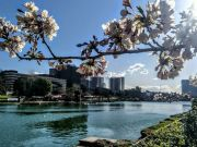 Spring cherry blossoms at EUR lake in Rome