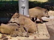 Urban zoo: Rome's wild animals take back the city